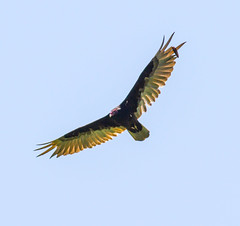 Vulture Overhead (John Kocijanski) Tags: vulture turkeyvulture bashakill bird birdofprey animal wings wildlife nature canon7d canon400mmf56