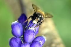 7297_pollen_harvest (Realmantis) Tags: bee bumblebee pollen macro bug harvest invertebrate