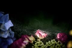 紫陽花 2019 #5ーHydrangea 2019 #5 (kurumaebi) Tags: yamaguchi 秋穂 山口市 nikon d750 nature 花 アジサイ macro hydrangea bug クモ