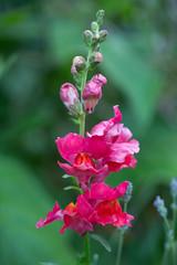 Snapdragon (SReed99342) Tags: london uk england snapdragon garden flower