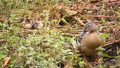 Mallard Duck and Ducklings (rq uk) Tags: rquk nikon d750 nikond750 tamronspaf150600mmf563divcusd adult baby dintonpastures bitternhide juvenile mallardduck