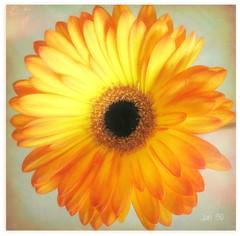 A flower for you (Jan 130) Tags: jan130 gerbera flower goingaway orange orangegerbera textured summer2019 june2019