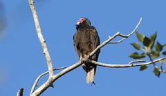 Turkey Vulture  2121 (robenglish64) Tags: turkeyvulture