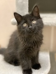 Bourbon (3) (Mary022378) Tags: adoptpetshelter adopt naperville cats kittens