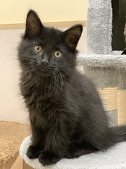 Bourbon (2) (Mary022378) Tags: adoptpetshelter adopt naperville cats kittens
