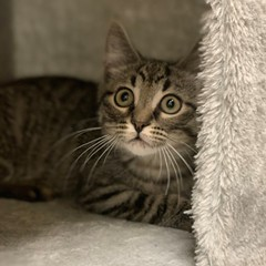 Cooper (Mary022378) Tags: adoptpetshelter adopt naperville cats kittens