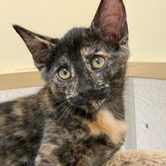 Serenity (1) (Mary022378) Tags: adoptpetshelter adopt naperville cats kittens