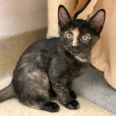 Sierra (Mary022378) Tags: adoptpetshelter adopt naperville cats kittens