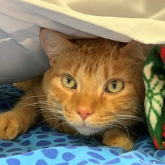 Crabapple (1) (Mary022378) Tags: adoptpetshelter adopt naperville cats kittens
