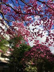 Ipê invasion  .  .  . (ericrstoner) Tags: ipêroxo handroanthusimpetiginosus ipê trumpettree brasília distritofederal sqs215 planopiloto bignoniaceae lavendertrumpettree