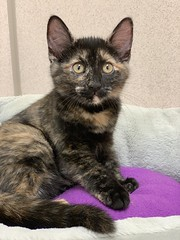 Savannah (2) (Mary022378) Tags: adoptpetshelter adopt naperville cats kittens