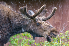 Summer You Say...Ha, That's Funny (RkyMtnGrl) Tags: wildlife nature moose bull colorado 2019 summer