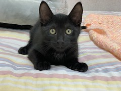Sebastian (2) (Mary022378) Tags: adoptpetshelter adopt naperville cats kittens