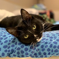 Binx (Mary022378) Tags: adoptpetshelter adopt naperville cats kittens