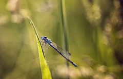 Mythical (akigabo) Tags: montreal nature fauna green bokeh dragonlfy animal dof canon life t5i 700d light shadows naturephotography 250mm colors