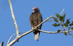 Turkey Vulture  2139 (robenglish64) Tags: turkeyvulture
