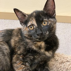 Shiloh (Mary022378) Tags: adoptpetshelter adopt naperville cats kittens