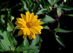 Perennial Sunflower (jmunt) Tags: gardenflower sunflower