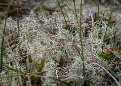 Lichen sp. - Cladonia portentosa (andrewkirby255) Tags: dunnethead lichen cladonia
