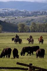 Teton Cattle Drive (John Clay173) Tags: mountains grandtetonnationalpark june jacksonhole jclay wyoming