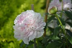 Soft pink peony / Pivoine rose tendre (GEMLAFOTO) Tags: pivoinesarabernhardt pivoines peony flowers fleurs rosetendre softpink michelgauthier nikond7100