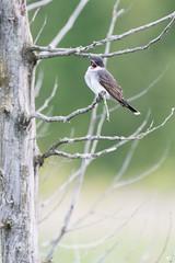 ''En plein vocalise!'' Tyran tritri-Eastern Kibngbird (pascaleforest) Tags: oiseau bird animal passion nikon nature wild wildlife faune québec canada