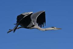 héron cendré 19D_3901 (Bernard Fabbro) Tags: héron cendré grey heron oiseau bird