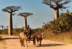 Pace of Life (Rod Waddington) Tags: africa african afrique afrika madagascar malagasy baobabs bullocks cattle animals cart culture cultural candid streetphotography street road outdoor family people pace life