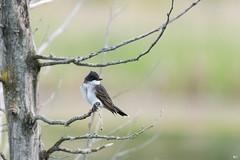 ''Dans ses pensées!''Tyran tritri-Eastern Kibngbird (pascaleforest) Tags: oiseau bird aniaml passion ikon nature wild wildlife faune québec canada