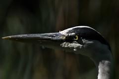 héron cendré 19D_3343 (Bernard Fabbro) Tags: héron cendré grey heron oiseau bird