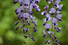 Wisteria (Abhay Parvate) Tags: wisteria flower purple nature macro bokeh