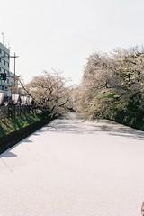 花筏 Floral raft (しまむー) Tags: pentax mz3 fa 43mm f19 limited kodak gold 200 弘前城 桜祭り