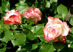 Gott ließ mit Wasser seinen Sohn (amras_de) Tags: rose rosen ruža rosa ruže rozo roos arrosa ruusut rós rózsa rože rozes rozen roser róza trandafir vrtnica rossläktet gül blüte blume flor cvijet kvet blomst flower floro õis lore kukka fleur bláth virág blóm fiore flos žiedas zieds bloem blome kwiat floare ciuri flouer cvet blomma çiçek