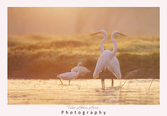 Great Egrets  at sunrise (T@hir'S Photography) Tags: animal animalwildlife animalshunting animalsinthewild aquaticorganism bird blue dunedinflorida egret fish floridausstate fortdesotopark greategret gulfcoaststates heron honeymoonislandstatepark horizontal lake marsh nature nopeople northamerica outdoors photography pond stpetersburgflorida stalking usa waderbird wading water wetland whitecolor flower waterlily lotusflower