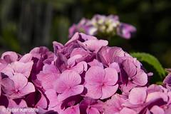Hortensie / hydrangea (peterkaroblis) Tags: garten garden blume flower makro pflanze pink hortensie hydrangea