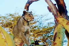 Collared Lioness In A Tree (Susan Roehl) Tags: kenya2015 masaimaranationalreserve kenya eastafrica africanlion pantheraleo felidaefamily collared female animal mammal sexuallydimorphic pride hunttogether mostlylargeungulates apexandkeystonepredator grasslands savannas usuallymorediurnalthanothercats activeatnight attwilight iucnvulnerable since1996 43declinesince1990s habitatloss conflictswithhumans sueroehl coth5 ngc