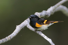 American Redstart (Greg Lavaty Photography) Tags: americanredstart setophagaruticilla michigan june tahquamenonfalls statepark lucecounty birdphotography upperpeninsula outdoors bird nature wildlife