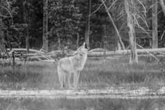 Grand Teton Wildlife | Coyote (robvaughnphoto.com) Tags: yellowstone grandteton wildlife coyote