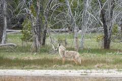 Yellowstone Wildlife | Coyote (robvaughnphoto.com) Tags: wildlife yellowstone grandteton coyote