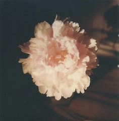 "Peony, Again (dreamscapesxx) Tags: instant polaroid snapitseeit polavoid ""polaroidslr680"" ""polaroidoriginals600film"" peony flower light shadows sunlightandshadows naturallight bloom"