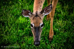 View From The Top (Wild.Woods.Photography) Tags: doe pov whitetail animal mammal deer portrait wildlife nature wildlifephotography wildlifephotographer natur naturephotography eos canon teamcanon green
