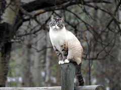 Farm Cat (pamfromcalgary) Tags: animal feline cat southernalberta pamhawkes