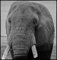 waterline (tsd17) Tags: elephant tusks canon sigma 150500 amboseli kenya wildlife mono