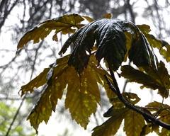 English Summer:  Sycamores (Nanny Bean) Tags: englishsummers mist rain grey sycamore bokeh