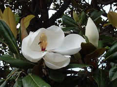 Matcha whisk? (bonjour_de_y5i) Tags: southernmagnolia magnoliagrandiflora stamen pistil flower leaf tree bee