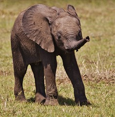 Look what I can do (camerlin) Tags: elephant africanelephant elephantcalf elephantcalflearningtousetrunk babyelephant cutebabyelephant maranorthconservancy maasaimara kenya africa
