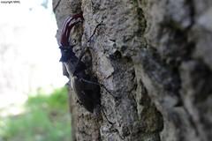 Lucanus sp. ; Hirschkäfer (Phil Arachno) Tags: mönchbruch germany hessen naturschutzgebiet deutschland laowa beetle coleoptera insecta arthropoda