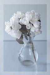 Philadelphus (Wendy:) Tags: hitech prostopndir6 ir filter philadelphus white flowers shrub 720nm
