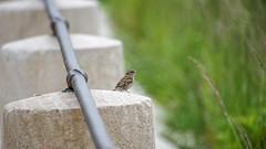 Moineau des Villes (Joseph Trojani) Tags: oiseau bird moieau sparrow ville city rambarde rampe slope rail femelle green vert posing composition