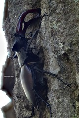 Lucanus sp. field stack (Phil Arachno) Tags: mönchbruch germany deutschland hessen naturschutzgebiet eos80d heliconfocus lucanus insecta arthropoda coleoptera focusstacking fieldstack